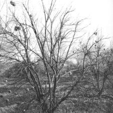 criquets sauterelles arbre fléau invasion insectes ravage infestation