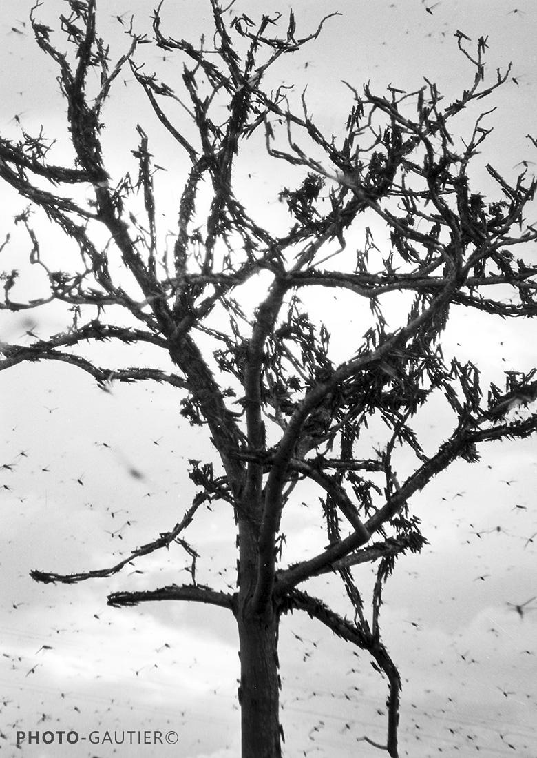 sauterelles fléau invasion insectes infestation criquets