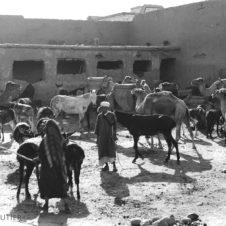 chameaux dromadaires mulet animaux souk marché place marché bestiaux ânes cheval badine bâton