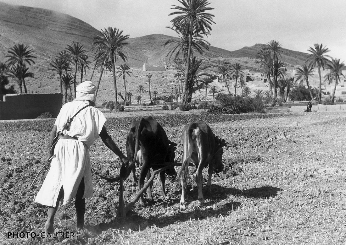 scènes campagne bœufs travaux champs travaux paysan palmiers attelage