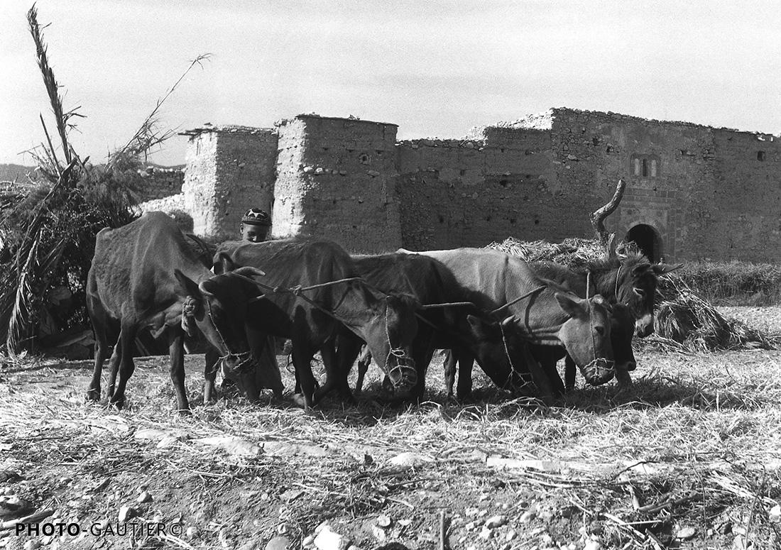 animaux campagne pâturage ferme fortifiée attelage bœufs âne terre museler muselière écraser grains blé moisson attelé enfant