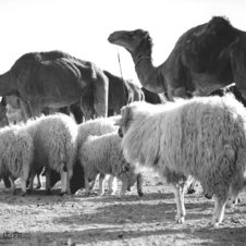 photo de dromadaires, chameaux et moutons en marche