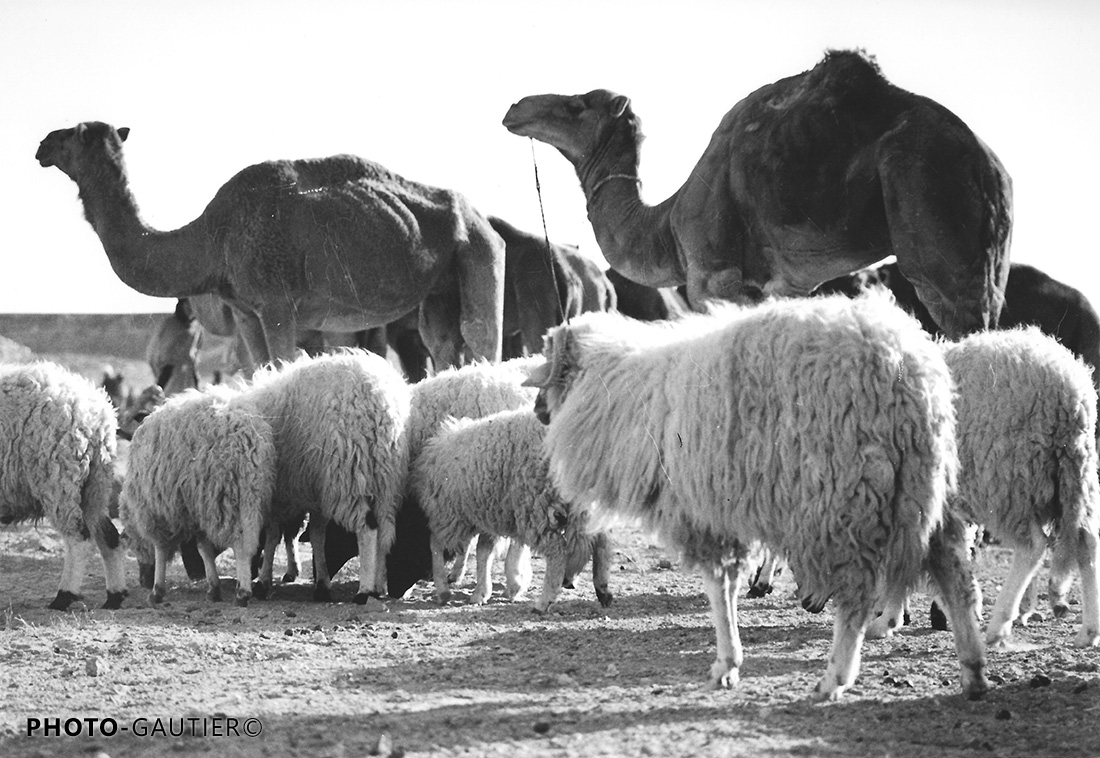 animaux dromadaires chameaux moutons rassemblement troupeau