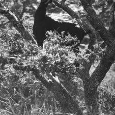 photo d'un chèvre noire perchée sur un arbre