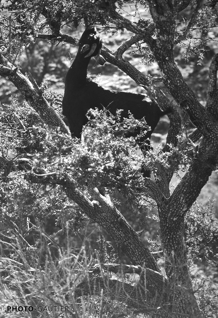 animaux arbre chèvre noire acrobate grimpeur branches gourmande grimper arganier