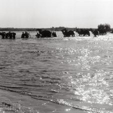 photo de dromadaires traversan la crue de Taroudan